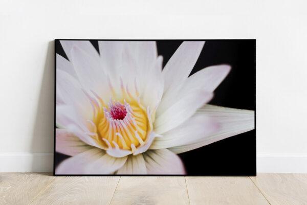Print of a pinkish white lotus flower in a dark pond