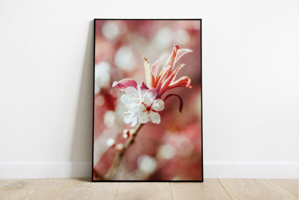 Print of a white cherry blossom with pink background