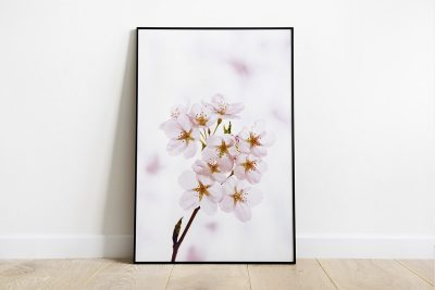 White cherry blossom with white background print